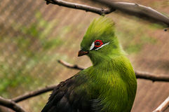 Зеленый Turaco Стоковая Фотография