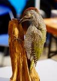 Зеленый Woodpecker Стоковое Фото