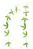 2 зеленых ветви passionflower с усиками изолированы дальше Стоковая Фотография