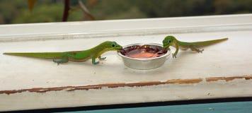 2 зеленых гекконового едят их завтрак Стоковая Фотография