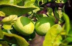 2 зеленых грейпфрута на дереве Стоковые Изображения RF