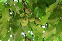 4 зеленых грецкого ореха на дереве Стоковые Фото