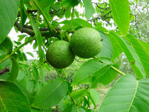 2 зеленых грецкого ореха на дереве Стоковое Фото