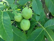 3 зеленых грецкого ореха Стоковое фото RF