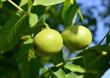2 зеленых грецкого ореха (regia Juglans) Стоковая Фотография