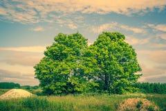 2 зеленых дерева на поле Стоковая Фотография