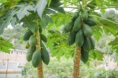2 зеленых дерева папапайи Стоковые Изображения