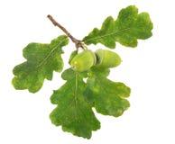 2 зеленых жолудя с 4 листьями Стоковое Изображение