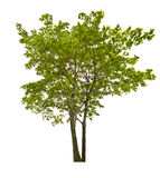 2 зеленых изолированных дерева клена Стоковые Фото