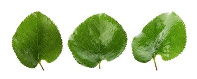 3 зеленых листь абрикосов изолированных на белой предпосылке Стоковые Фотографии RF