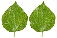 2 зеленых листь бетэла изолированного на белизне Стоковые Изображения RF