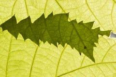 2 зеленых листь в backlight солнца Стоковая Фотография RF
