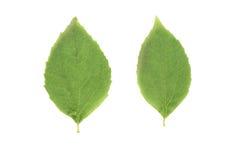 2 зеленых листь жасмина изолированного на белизне Стоковое Изображение RF