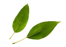 2 зеленых листь изолированного на белой предпосылке Стоковая Фотография