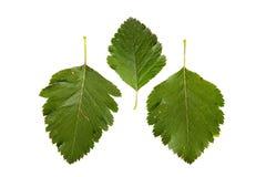 3 зеленых листь изолированного на белой предпосылке Стоковые Фотографии RF