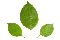 3 зеленых листь изолированного на белой предпосылке Стоковые Фото