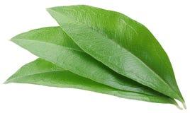 3 зеленых листь изолированного на белой предпосылке Стоковое фото RF