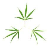 3 зеленых листь конопли Стоковая Фотография