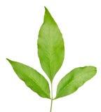 3 зеленых листь на ветви изолированной на белизне Стоковые Фото