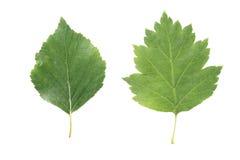 2 зеленых листь от деревьев липы и боярышника изолированных на белизне Стоковые Фотографии RF