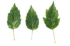 3 зеленых листь от куста изолированного на белизне Стоковая Фотография