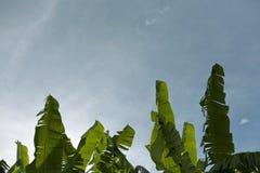 3 зеленых листь пальмы банана на предпосылке неба Стоковые Изображения