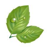 2 зеленых листь при изолированная роса Бесплатная Иллюстрация
