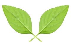 2 зеленых листь тимиана изолированного на белизне Стоковая Фотография RF
