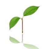2 зеленых листь Стоковые Фото
