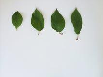 4 зеленых листь Стоковое Изображение