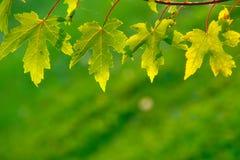 4 зеленых листь Стоковая Фотография RF