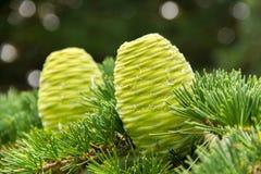 2 зеленых конуса сосны Стоковые Изображения RF