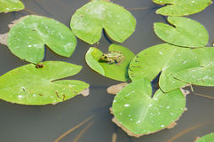 2 зеленых маленьких лягушки Стоковые Изображения