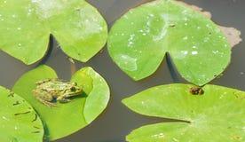 2 зеленых маленьких лягушки Стоковое фото RF