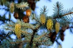 3 зеленых неполовозрелых конуса на ветви ели Стоковые Фотографии RF