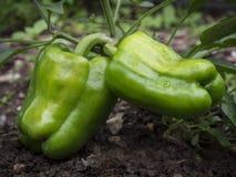 2 зеленых перца в органическом домашнем саде Стоковые Изображения RF