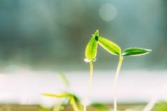 2 зеленых ростка с лист, листья растя от почвы Весна, Стоковая Фотография
