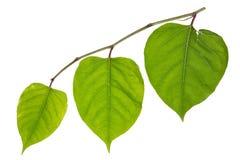 3 зеленых сердца Стоковое Изображение RF