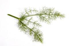 3 зеленых стержни и листь завода фенхеля Стоковое Фото