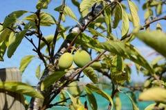 2 зеленых сливы растя на фруктовом дерев дереве Стоковое Изображение RF