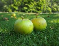 2 зеленых яблока на траве Стоковое Изображение