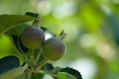 2 зеленых яблока растя на дереве Стоковые Фотографии RF