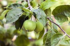 2 зеленых яблока растя на дереве Стоковое фото RF