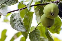 2 зеленых яблока растя на дереве Стоковые Изображения RF