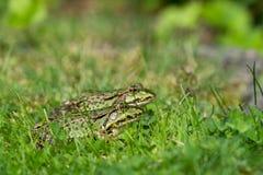 2 зеленых лягушки на лужайке Стоковые Изображения RF