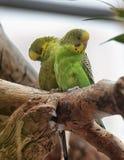 2 зеленых budgies Стоковая Фотография