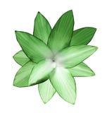 Зелен-белый цветок Предпосылка изолированная белизной с путем клиппирования closeup Отсутствие теней Для конструкции Стоковая Фотография RF