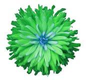 Зелен-голубой цветок на белой предпосылке изолированной с путем клиппирования closeup shaggy осень Стоковые Фото