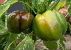 2 зелен-коричневых болгарского перца в саде Стоковое фото RF