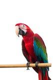 Зелен-подогнали птицы chloropterus Ara ары красные изолированные на белой предпосылке с путем клиппирования Стоковая Фотография